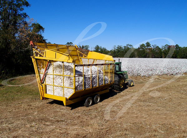 Loaded boll buggy heading toward the module builder to dump  the load with a cotton field in the background.