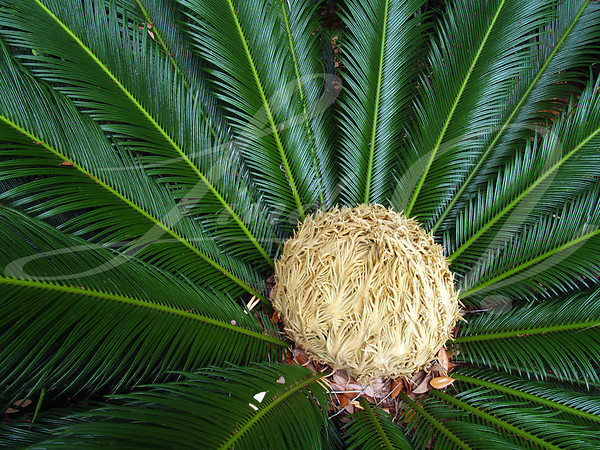 Sago Palm with Female Cone