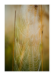 Morning Dew on Spider Web_080913_0108