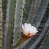 Echinopsis terscheckii (3)
