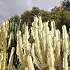 Euphorbia ammak 'Variegata' (1)