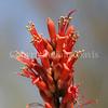 Fouquieria splendens (6)