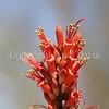 Fouquieria splendens (5)