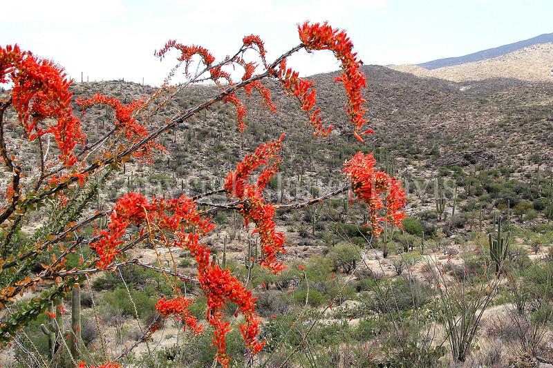 Fouquieria splendens (2)