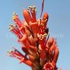 Fouquieria splendens (4)
