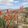 Fouquieria splendens (3)