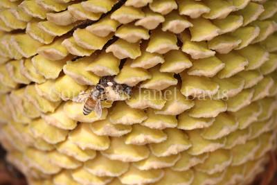 Cycas revoluta cone with honey bee (3)