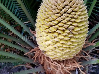 Cycas revoluta cone with honey bee (1)