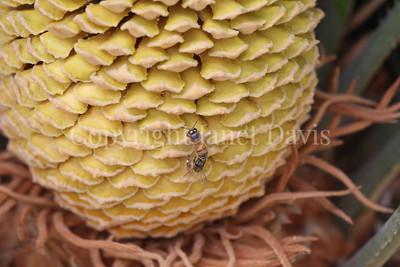 Cycas revoluta cone with honey bee (4)