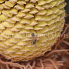 Cycas revoluta cone with honey bee (4)