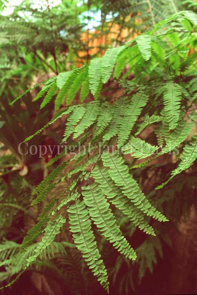 Adiantum polyphyllum