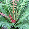 Blechnum brasiliense (2)