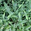 Nephrolepis cordifolia (2)