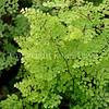 Adiantum aethiopicum (2)