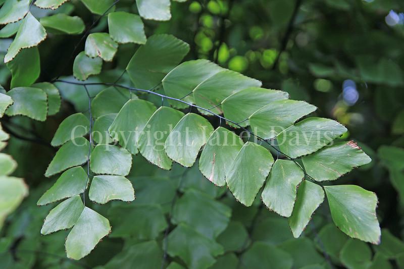 Adiantum peruvianum (1)