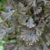 Selaginella sericea Bronze Form