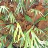 Platycerium bifurcatum (1)