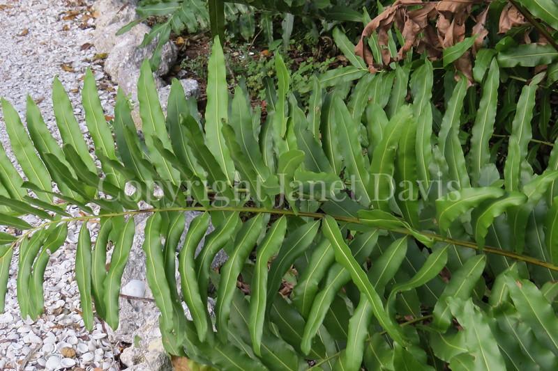 Acrostichum danaeifolium (5)