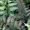 Athyrium niponicum var  pictum 'Ursula's Red' (1)