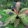 Blechnum brasiliense (4)