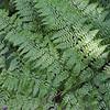 Dennstaedtia bipinnata (2)
