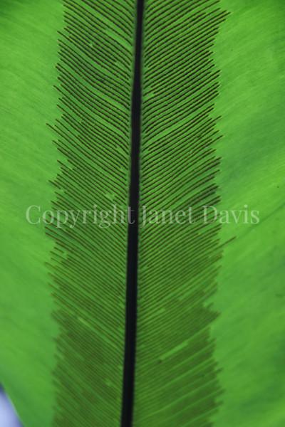 Asplenium nidus (3)