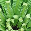 Asplenium nidus (4)