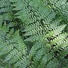 Dennstaedtia bipinnata (3)