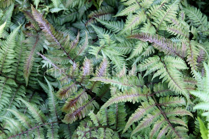 Athyrium niponicum var  pictum 'Ursula's Red' (2)