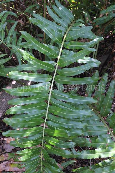 Acrostichum danaeifolium (1)