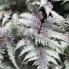 Athyrium niponicum var  pictum 'Burgundy Lace' (2)