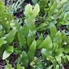 Polypodium punctatum 'Grandiceps' (2)