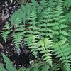 Macrothelypteris torresiana (1)