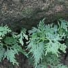 Selaginella uncinata (1)