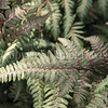 Athyrium niponicum var  pictum 'Burgundy Lace' (3)
