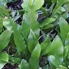Polypodium punctatum 'Grandiceps' (1)