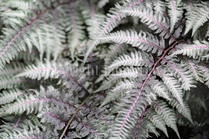 Athyrium niponicum var  pictum 'Burgundy Lace' (1)