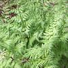 Athyrium filix-femina (5)