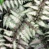 Athyrium niponicum var  pictum 'Pewter Lace' (2)
