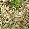 Athyrium niponicum var  pictum 'Pewter Lace' (5)