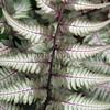 Athyrium niponicum var  pictum 'Pewter Lace' (4)