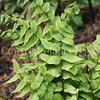 Cyrtomium fortunei var clivicolum (3)