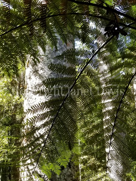 Cyathea dealbata (4) with Agathis australis