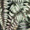 Athyrium niponicum var  pictum 'Pewter Lace' (1)