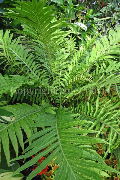 Blechnum gibbum (1)
