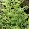 Adiantum aethiopicum (3)