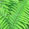 Athyrium filix-femina (4)