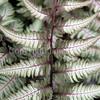 Athyrium niponicum var  pictum 'Pewter Lace' (3)