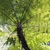 Cyathea latebrosa (2)