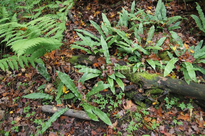 Asplenium scolopendrium var  americanum (1)